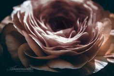 Ranunculus by Daniela Della Corte on 500px