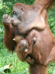 A mother's love: An orangutan, Inah, carries her baby, Chelin, at Schmutzer Primate Center in Ragunan Zoo, South Jakarta, in this file photo. Orangutans in the center enjoy greenery and a bit of nature inside their enclosure, while their fellow primates at the zoo have to cope with a concrete enclosures. (JP/Arief Suhardiman)