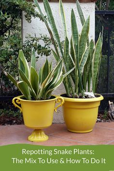 Snake Plants are diehard houseplants. Here's how to repot them including when to do it, the planting mix to use & the steps to take. There's a video to guide you.