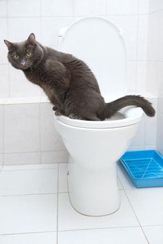 Não é só coisa de filme não! É mesmo possível fazer com que o seu gato use o vaso sanitário ;) #gatos #animais #cats