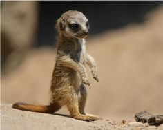 meerkat pup... isn't he the cutest little thing!?!