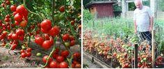 Dorești să ai suficiente roșii pentru mâncare și conservare pentru iarnă? Secretul unei recolte abundente constă într-o soluție destinată cultivării tomatelor. Am găsit această rețetă într-un ziar sovietic despre grădinărit. Aici am zărit o scrisoare expediată editorului de către un bunel în care cel din urmă a împărtășit secretul lui. Iată și rezultatul obținut. Impresionant, … Home And Garden, Organic, Fruit, Vegetables, Nature, Gardening, Nicu, Tomatoes, Plant