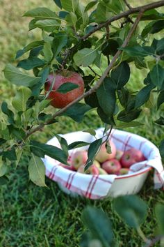 Picking from the apple tree to bake a pie.