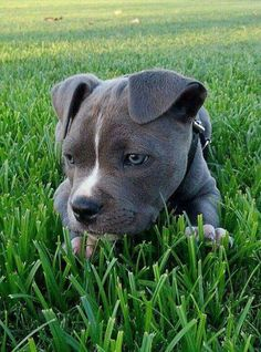 Pitbulls. Animals. Dogs. #pitbull