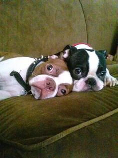"""""""This way when they come back,we look dumb!"""" #dogs #pets #BostonTerriers…"""