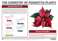 Following on from the start of the Chemistry Advent Calendar yesterday, here's another festive post, this time looking at the chemistry of the poinsettia plant. The red leaves of the poinsettia pla...