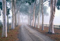 Avenue of lemon scented gums , Cruden Farm , Langwarrin , Australia . A wedding present from press baron Sir Keith Murdoch to his nineteen year old bride , Elizabeth. 1929