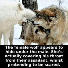 The female wolf protects her mate while pretending to be scared.