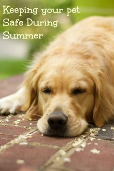 How to keep your pet safe in the summer.  This Golden Retriever Puppy is too cute