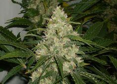 bubble gum weed  www.ilovegrowingmarijuana.com