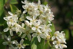 Prunus mahaleb - Vejksel