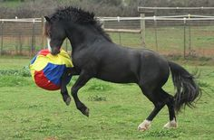 Connemara Stallion At Play :)#rbluemoon #connemarastallion #redbudranchwww.goodpony.net Connemara Pony, Horse Drawings, Blue Moon, Dog Cat, Funny Pictures, Cute Animals, Horses, Ranch, Doormats
