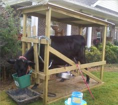 We built our first cow milking stanchion
