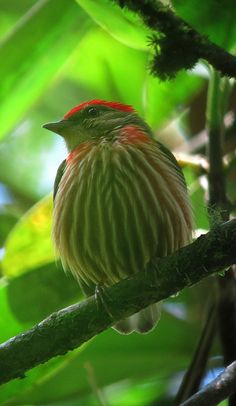 Machaeropterus striolatus / Saltarín rayado / Western Striped Manakin (male) | Flickr - Photo Sharing!
