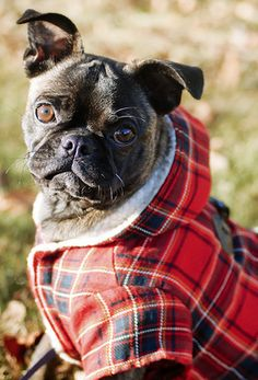 Cute doggy in a fall plaid jacket!