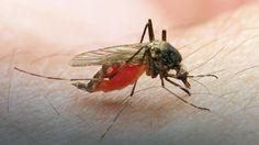 Naukowcy: skuteczna szczepionka na malarię może być dostępna za kilka miesięcy #nauka