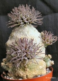 Holy Mother of Succulents! Weird Plants, Unusual Plants, Rare Plants, Exotic Plants, Cool Plants, Agaves, Growing Succulents, Cacti And Succulents, Planting Succulents