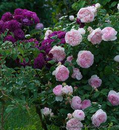 ~'Sharifa Asma' and 'Ebb Tide' roses