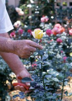 How to Prune a Rose