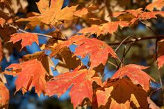 Colorful Fall Leaves | Bright red and orange leaves on maple tree.