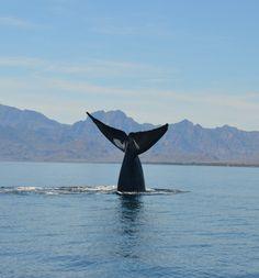 The Blue Whales of the Loreto Marine Reserve, Baja California Sur, Mexico