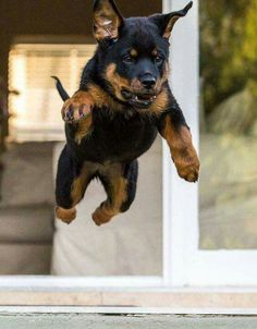 Cute Puppies, Cute Dogs, Dogs And Puppies, Baby Animals, Funny Animals, Cute Animals, Rottweiler Puppies, Beagle, Funny Dogs