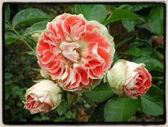"Paul Barden: Old Garden Roses and beyond rare roses list. (""Most Unusual Day  This Ralph Moore floribunda is indeed most unusual—unique, in fact—and I'm completely hooked on it. The blooms are most exquisite: they carry Moore's signature pointed petals—accentuated by the very distinct, creamy white ""picotee"" edge."")"