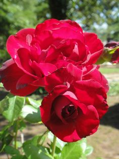 'Black Cherry Rose' |FL rose. | Flickr - © Cynthia Crawley