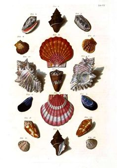 Vintage seashell classification-I have a whole book of this stuff. Wonderful.