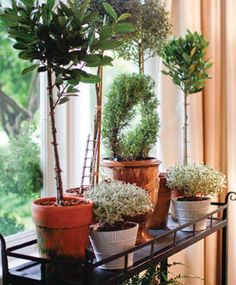 Myrtle, bay leaf, and rosemary topiaries. Cute and functional for cooking!