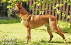 Malinois, Mechelaar, Belgischer Schäferhund - Hunderasse mit Rassebeschreibung und Fotos auf Hundund