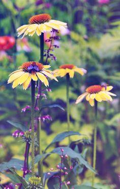 Echinacea 'Sunrise'