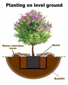 How to plant crape myrtle trees on pinterest crepes wood burning crafts and landscapes - Fir tree planting instructions a vigorous garden ...