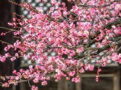 """Meruňka japonská plodí """"švestičky"""", z nichž se vyrábí umeboshi a umeocet Plants, Red, Fitness, Plant, Planets"""