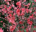 Quince - Beautiful springtime blossoms!