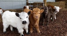 You wouldn't normally call a call warm and fuzzy, but Highland cattle are different. See adorable photos of a the Highland cattle calf! Baby Farm Animals, Baby Cows, Cute Animals, Wild Animals, Baby Elephants, Cute Baby Cow, Cute Cows, Fluffy Cows, Fluffy Animals