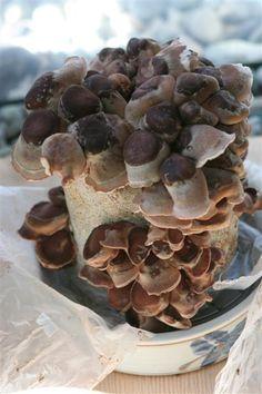 Shiitake Mushroom Block