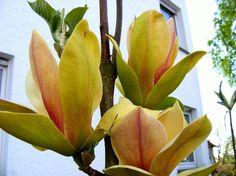 Magnolia Sunsation Evergreen Hedging Plants, Evergreen Climbing Plants, Evergreen Hedge, Trees And Shrubs, Flowering Plants, Flor Magnolia, Magnolia Flower, Garden Shop, Dream Garden