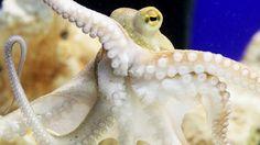 Octopussen veranderen van kleur tijdens ruzies met soortgenoten. De inktvissen nemen een donkere tint aan als ze in conflict raken met elkaar en verbleken weer als ze zich terugtrekken uit zo'n confrontatie.