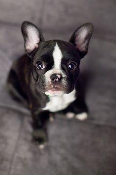 Monty:  10 weeks old  French Bulldog