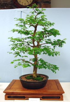Bonsai Tree Care - Learn How to Grow, Prune, and Care for Bonsai Trees #bonsaiguide #howtogrowbonsai #howtomakebonsai #bonsaibasics #startingtechnique #bonsaitreecare #bonsaistyle #secretofshapingbonsai #typesofonsai