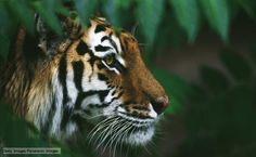 gorgeous tiger photo from BBC website Getty Images/Panoramic Images