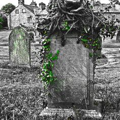 Ivy Attack At Graveyard - St Mary's, Kirkby Lonsdale, Cumbria, England