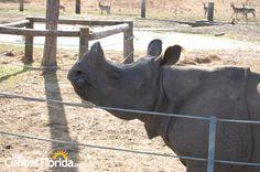 A rhino at Safari Wilderness- Lakeland, FL, Central Florida