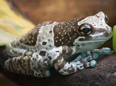 10 Types of Tree Frogs