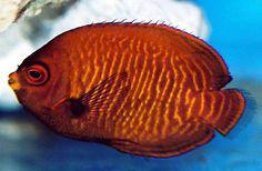 Golden Pygmy Angelfish (Centropyge aurantia)