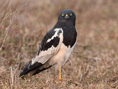 The Pied Harrier (Circus melanoleucos) is an Asian species of bird of prey in the family Accipitridae. It is migratory, breeding from Amur valley in eastern Russia and north-eastern China to North Korea. Wintering individuals can be found in a wide area from Pakistan to Philippines.