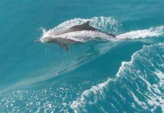 Dolphins- el Gouna