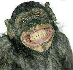 Close-Up Of Mixed-Breed Monkey Between Chimpanzee And Bonobo Smiling 8 Years Old - Funny Monkeys - Funny Monkeys meme - - The post Close-Up Of Mixed-Breed Monkey Between Chimpanzee And Bonobo Smiling 8 Years Old appeared first on Gag Dad. Funny Weekend Quotes, Weekend Humor, Friday Humor, Face Pictures, Funny Pictures, Monkey Pictures, Friday Pictures, Orang Utan, Rottweiler Training