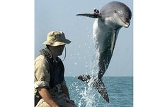 Dolphins possess the most sophisticated sonar system known to man, and are     used by the US Navy to locate mines in deep water. This bottlenose dolphin     was clearing shipping lanes during the war in Iraq in 2003.      Picture: Getty